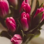 Tulipomania trwa - poznaj ciekawostki o tulipanach