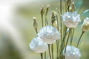biała eustoma