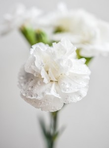 biały goździk