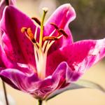 Czy wiesz wszystko o liliach?