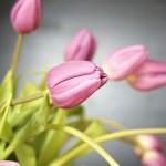 Tulipany pod dobrą opieką