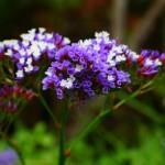 Limonium - z jakimi kwiatami prezentuje się najlepiej?