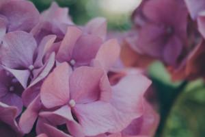 Różowe hortensje
