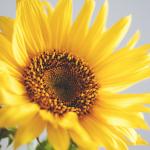 Te ciekawostki o słonecznikach Cię zaskoczą