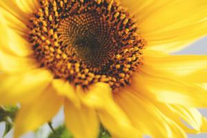 Kwitnący słonecznik