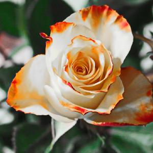 Różyczka na Dzień Dziadka