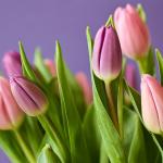 Wielki powrót tulipanów - wiosenny akcent w środku zimy