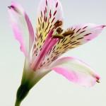 Letnie bukiety z liliami
