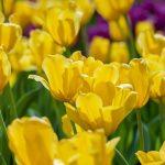 Ciekawostki o wiosennych kwiatach, których nie znasz!