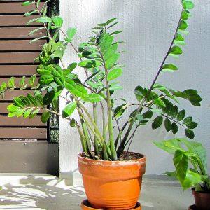 Jak dbać o rośliny domowe podczas upałów?